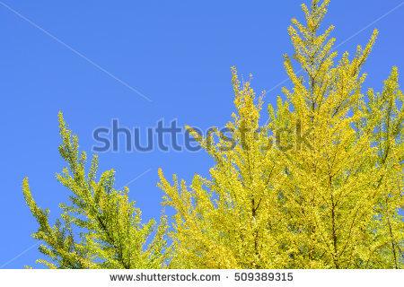 """yellow Ginkgo"" Stock Photos, Royalty."