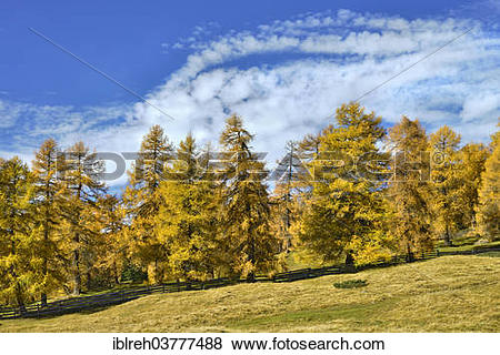"Pictures of ""Larch forest (Larix) in autumn, Tyrol, Austria."