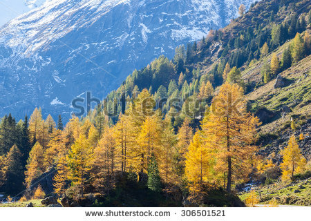 Larch Forest Stock Photos, Royalty.