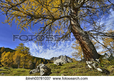 "Picture of ""Larch forest (Larix decidua), Mt Mondscheinspitze."