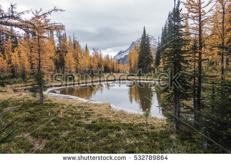 Larch Stock Photos, Royalty.