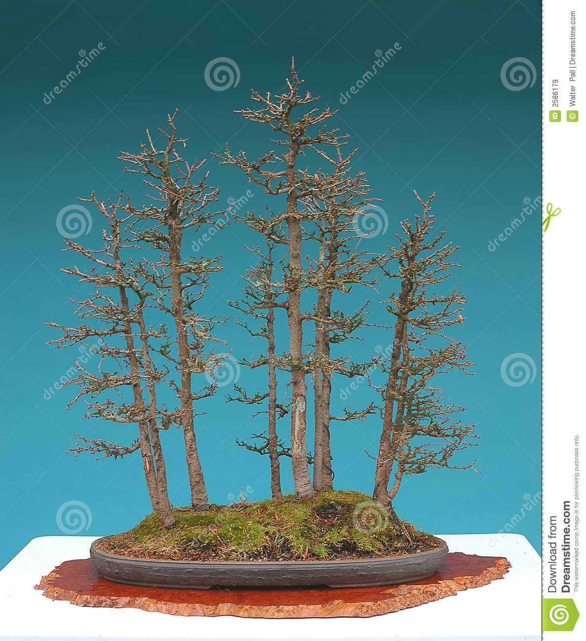 American Larch Bonsai Forest Royalty Free Stock Images.