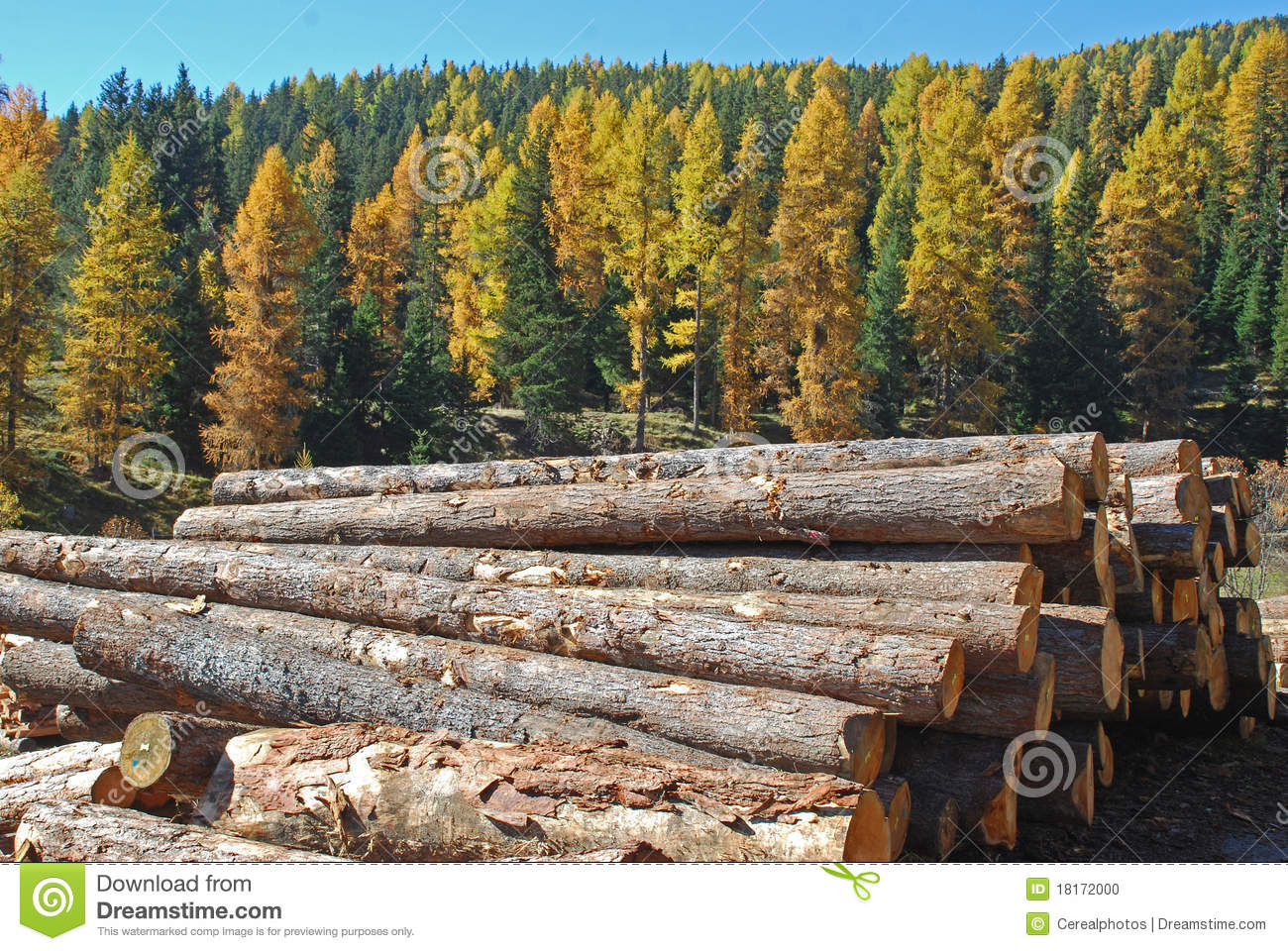 Larch Forest Stock Photo.