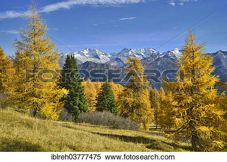 "Stock Image of ""Larch forest (Larix) in autumn, behind the."