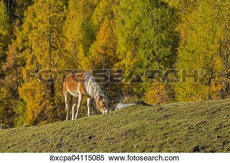 Stock Image of Haflinger (Equus ferus caballus), autumn larch.