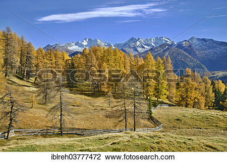 "Stock Photo of ""Larch forest (Larix) in autumn, behind the."