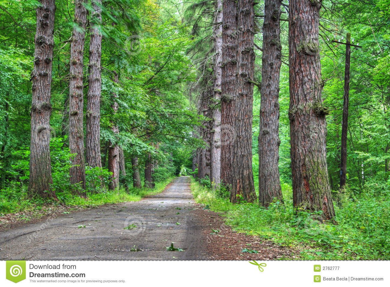 Road Through Old Larch Forest Royalty Free Stock Photography.