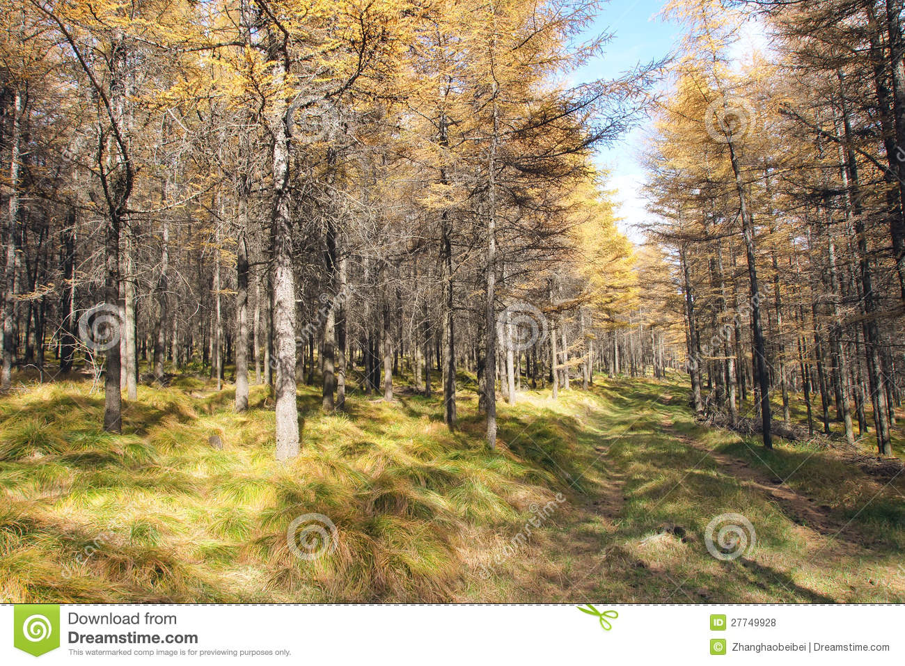 Dahurian Larch Forest Royalty Free Stock Photos.