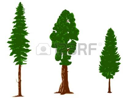 440 Larch Tree Stock Vector Illustration And Royalty Free Larch.