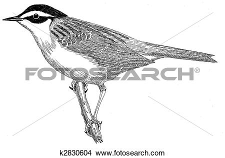 Drawings of Siberian Accentor k2830604.