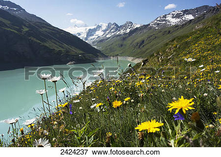 Picture of Summer alpine flowers along the banks of the Moiry.