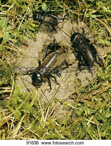 Stock Images of two field crickets in front of their den / Gryllus.
