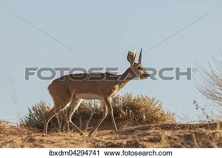 Stock Photography of Steinbockchen (Raphicerus campestris) geht.