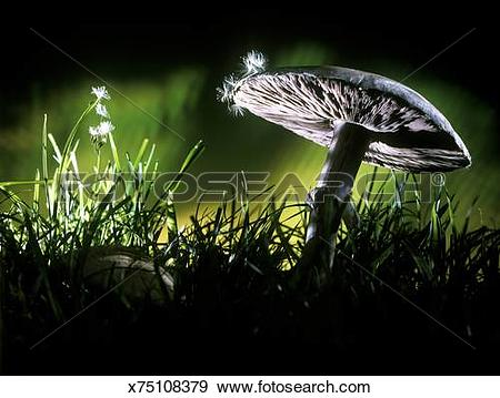 Stock Photograph of Field Mushroom (Agaricus campestris) with.