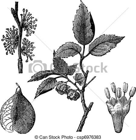 Vectors of Elm or Ulmus campestris, vintage engraving.