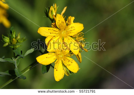 St Johns Wort Stock Photos, Royalty.
