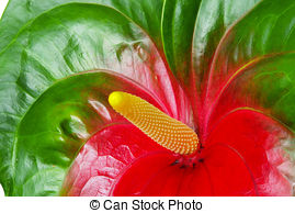 Anthurium Stock Photo Images. 1,935 Anthurium royalty free.