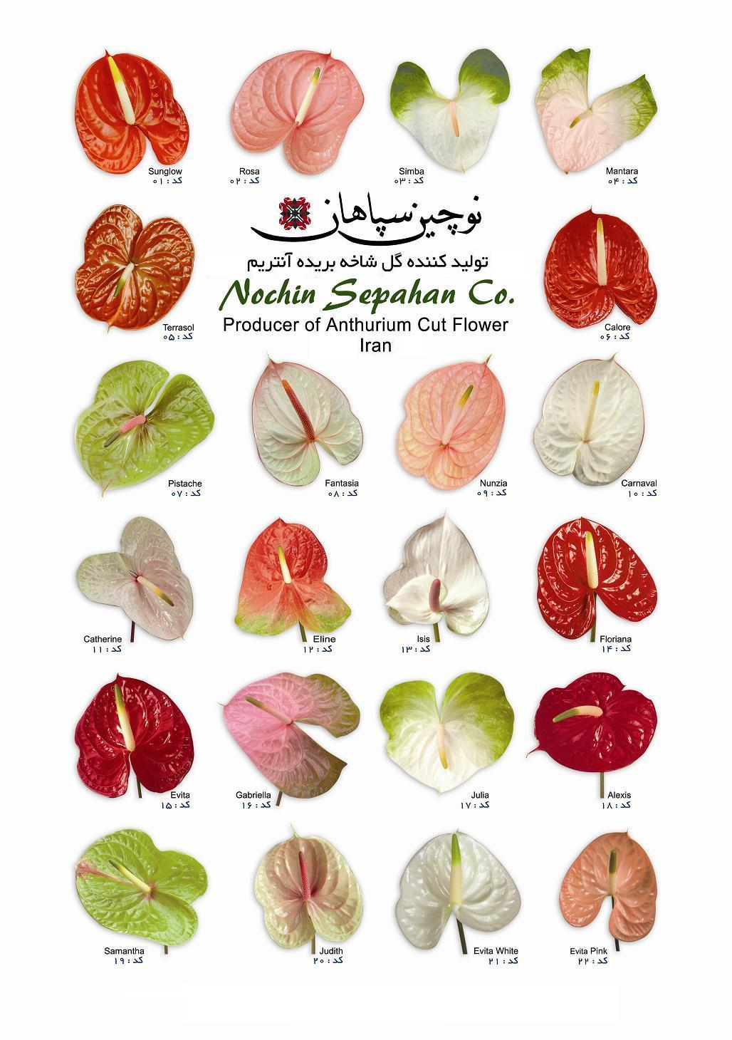 1000+ images about Anthurium.