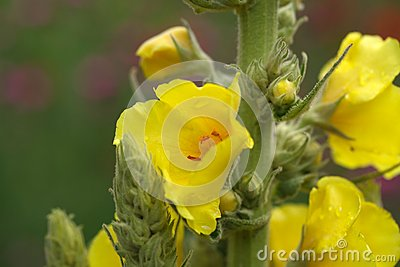 Herb Mullein Flower Verbascum Densiflorum In Summer Stock Photo.