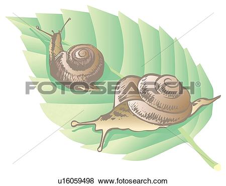 Stock Illustration of Two garden snails on a leaf, close up.