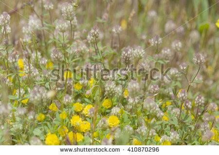"""trifolium Arvense"""" Stock Photos, Royalty."""