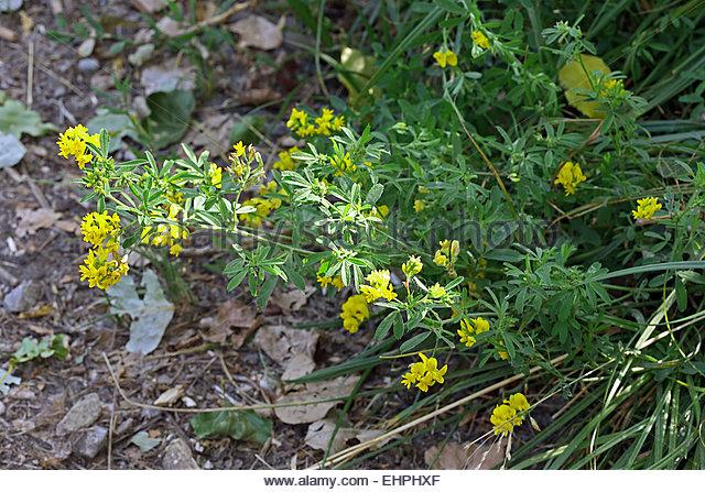 Trefoil Leaf Stock Photos & Trefoil Leaf Stock Images.