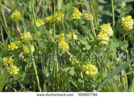 Trifolium Stock Photos, Royalty.