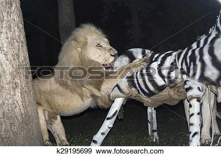 Stock Photograph of White lion maul a fake zebra k29195699.