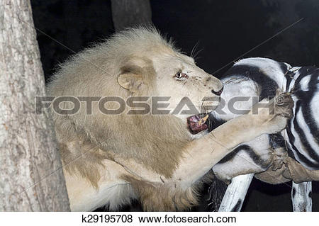 Pictures of White lion maul a fake zebra k29195708.
