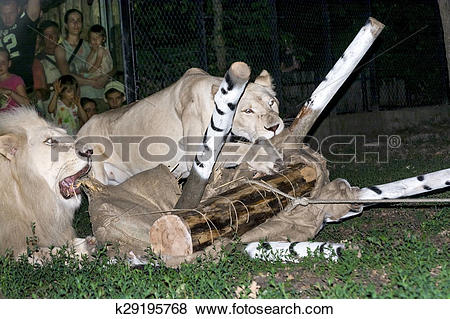 Pictures of White lion maul a fake zebra k29195768.