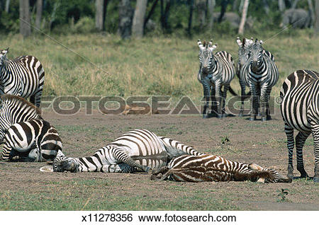 Stock Images of Common zebra (Equus burchelli) and foal lying.