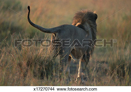 Stock Photo of Lion (Panthera leo) standing, rear view, Masai Mara.