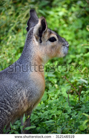 Patagonian Cavy Stock Photos, Royalty.