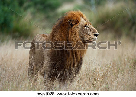 Pictures of Large, male African lion standing in the brush on the.