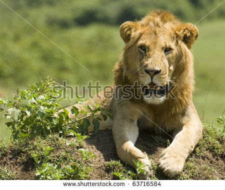 Lioness Walking Her Five Cubs Through Stock Photo 63716578.