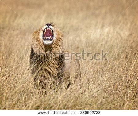 Lion In Grass Stock Photos, Royalty.