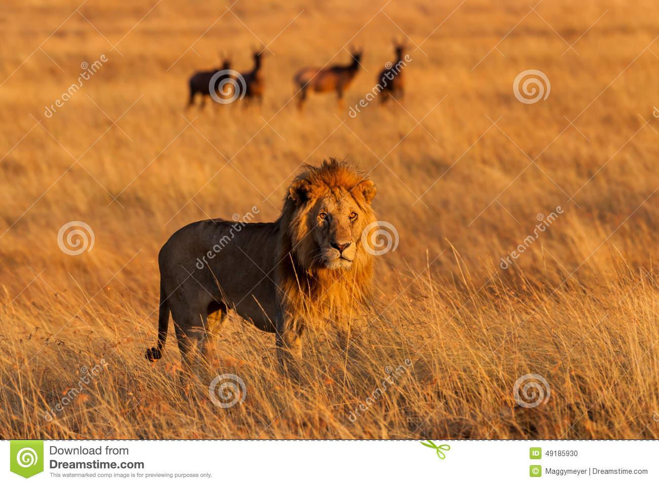 Big Lion At Sunrise In Masai Mara Stock Photo.