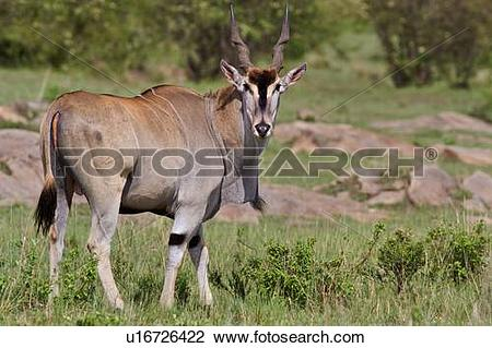 Stock Photo of Close up view of large male eland, side view, Masai.