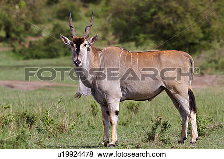 Pictures of Close up view of large male eland, side view, Masai.