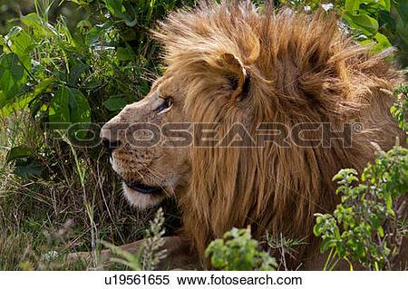 Stock Image of Large adult male lion lying near bushy undergrowth.