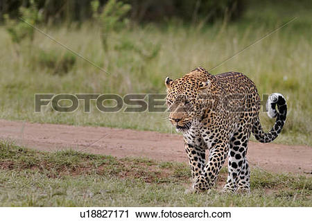 Stock Photography of Large adult male leopard walking diagonally.