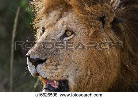 Pictures of Magnificent adult lion close up front.