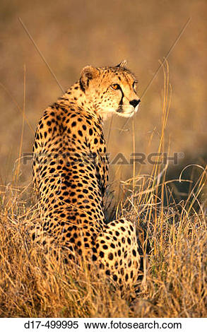 Stock Image of Cheetah (Acynonix jubatus) in steppe grass, looking.