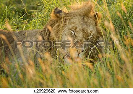 Stock Photography of Sleepy lion: large adult male lying asleep in.