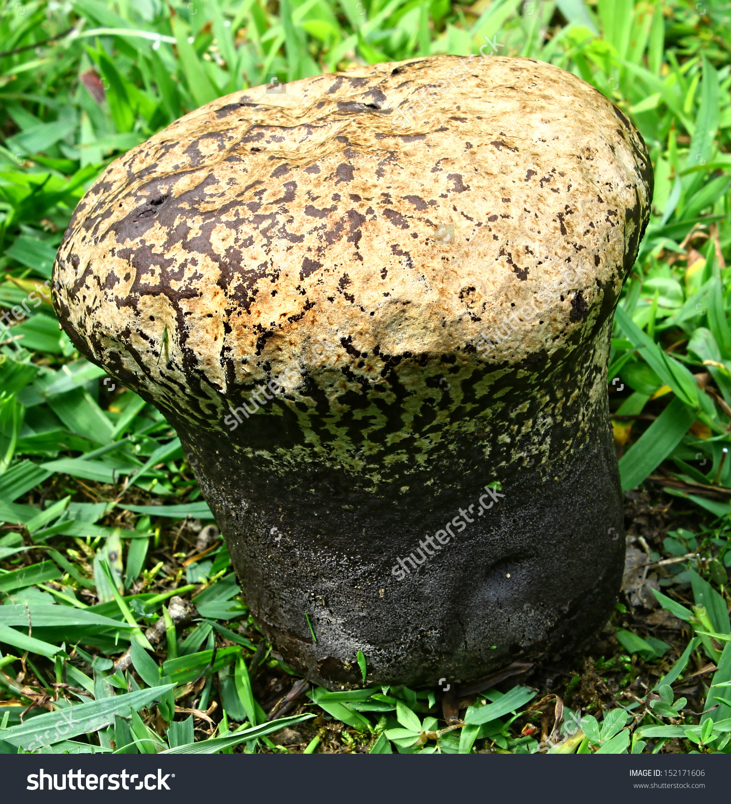 Closeup Of A Large Black And Brown Puffball Mushroom Outside In.