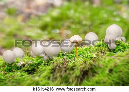 Stock Images of Puffballs with one ordinary mushroom k16154216.