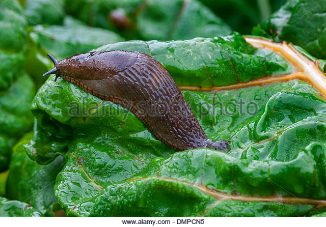 Large Red Slug Stock Photos & Large Red Slug Stock Images.
