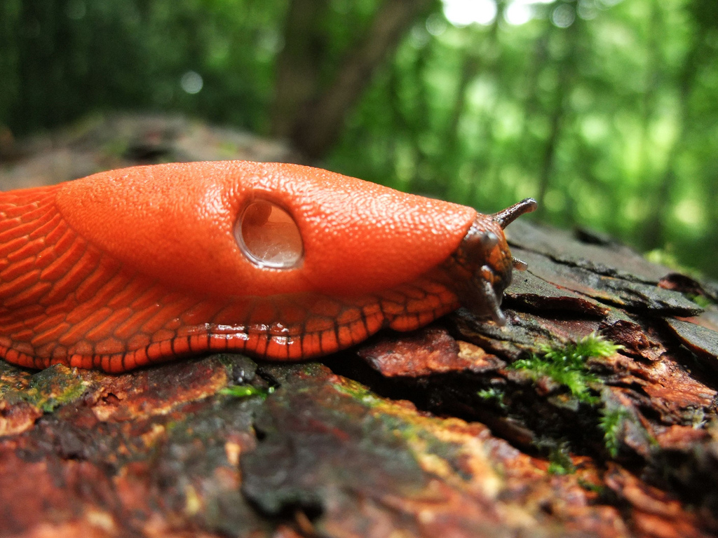Rote Wegschnecke / European red slug (Arion rufus).
