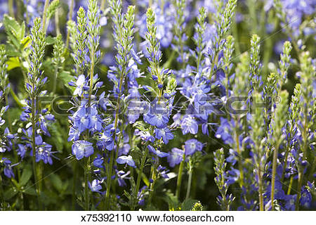 Stock Photography of Creeping Speedwell x75392110.