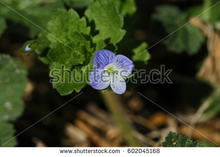 Speedwell Stock Images, Royalty.